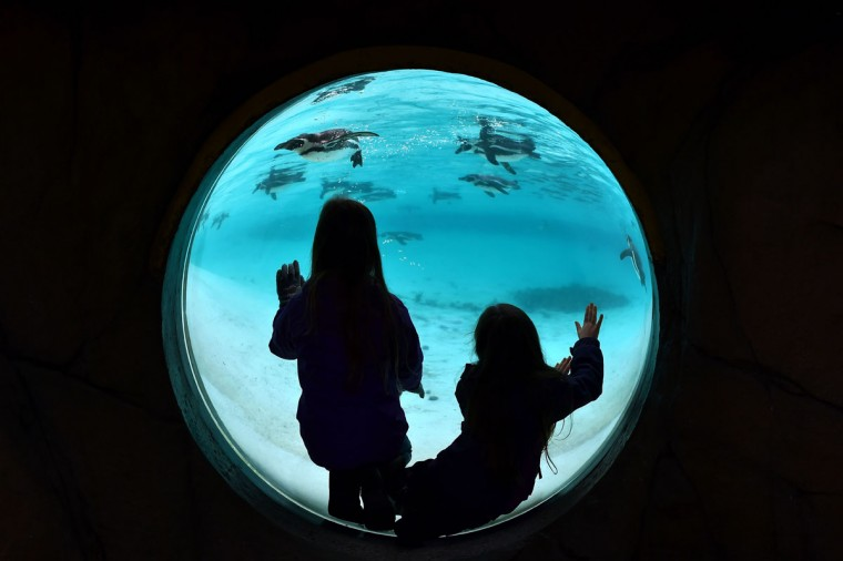 Children watch Humboldt penguins during the annual stocktake photocall at London Zoo in central London on January 4, 2016. The compulsory annual count is required as part of the zoo's licence. (BEN STANSALL/AFP/Getty Images)