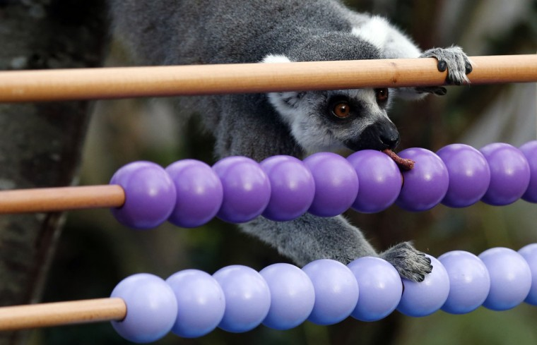 A ring-tailed lemur takes a treat from a toy during the annual stocktake press preview at London Zoo in Regents Park in London Monday, Jan. 4, 2016. (AP Photo/Alastair Grant)