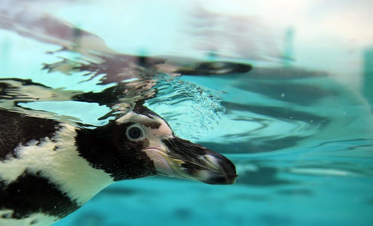 Humboldt penguins swim in their pool during the annual stocktake press preview at London Zoo in Regents Park in London Monday, Jan. 4, 2016. (AP Photo/Alastair Grant)