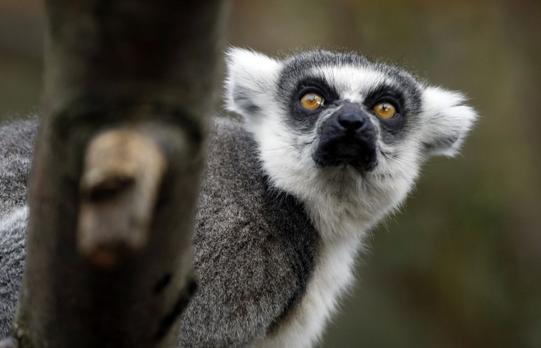 A ring-tailed lemur looks round during the annual stocktake press preview at London Zoo in Regents Park in London Monday, Jan. 4, 2016. (AP Photo/Alastair Grant)