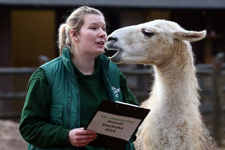Jessica Jones handles a clipboard as she poses for a photograph with a llama during the annual stocktake of animals at ZSL London Zoo on January 4, 2016 in London, England. (Photo by Carl Court/Getty Images)