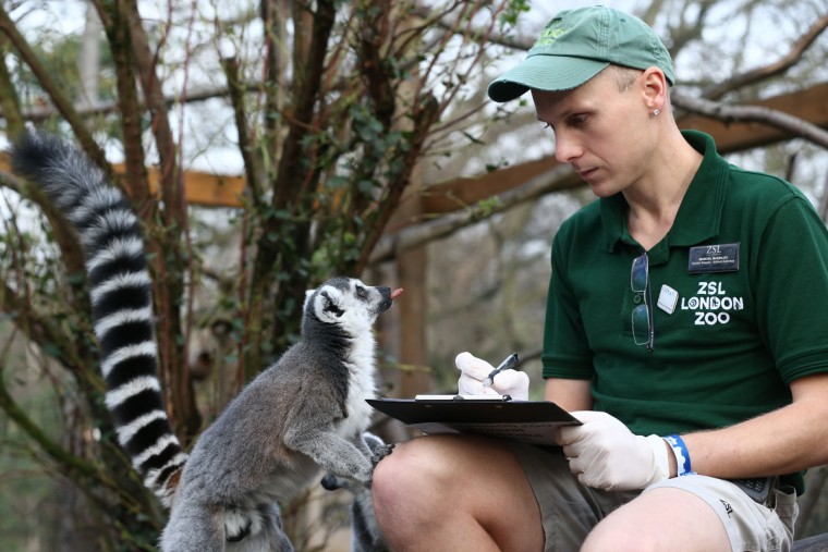 Zookeeper Marcel McKinley poses for a photograph as he counts ring tail lemurs during the annual stocktake of animals at ZSL London Zoo on January 4, 2016 in London, England. (Photo by Carl Court/Getty Images)