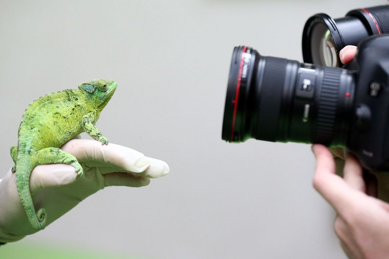 A Jackson's chameleon is photographed while being handled by a zoo keeper during the annual stocktake of animals at ZSL London Zoo on January 4, 2016 in London, England. (Photo by Carl Court/Getty Images)