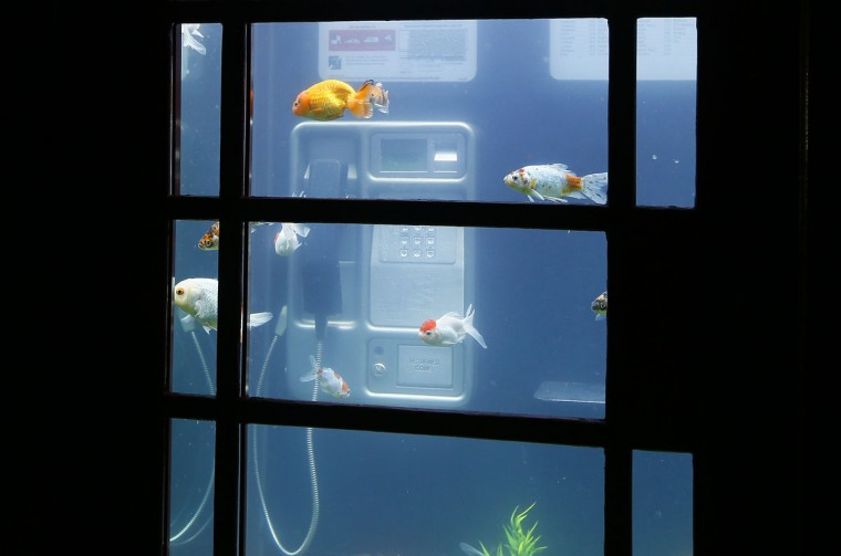 Fish swim in a phone box in an artwork called 'Aquarium' by Benedetto Bufalino and Benoit Deseille in London, Thursday, Jan. 14, 2016. Lumiere London is a festival of lights across 30 London locations, showing installations, projections and interactive pieces, the festival runs until Jan. 17 and is expected to attract thousands of visitors. (AP Photo/Kirsty Wigglesworth)