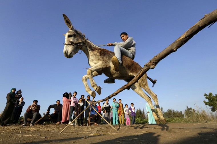 In this Friday, Feb. 5, 2016 picture, Egyptian farmer Ahmed Ayman, 14, rides his trained donkey as he jumps over a barrier in the Nile Delta village of Al-Arid about 150 kilometers north of Cairo, Egypt. He discovered the donkeyís talent after she jumped over a small irrigation canal. (AP Photo/Amr Nabil)