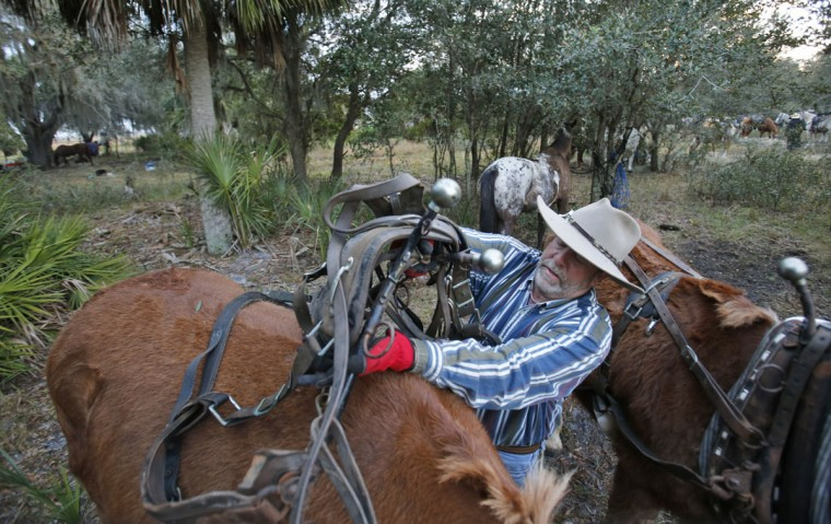 In this, Tuesday, Jan. 26, 2016 photo, Clark Bailey, 57, of Fruit Cove, Fla., harnesses his mules before the second day of the Great Florida Cattle Drive 2016, in Kenansville, Fla. (AP Photo/Wilfredo Lee)