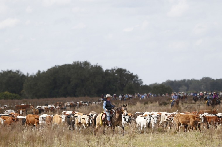 In this, Tuesday, Jan. 26, 2016 photo, a rider herds cattle during the Great Florida Cattle Drive 2016, in Kenansville, Fla. The purpose of the once-a-decade drive was to draw attention to Floridaís deep cowboy history at a time when the state is known more for Disney World fantasies, South Beach flashiness, Panama City Beach spring break rowdiness and Cape Canaveral rocket launches. (AP Photo/Wilfredo Lee)