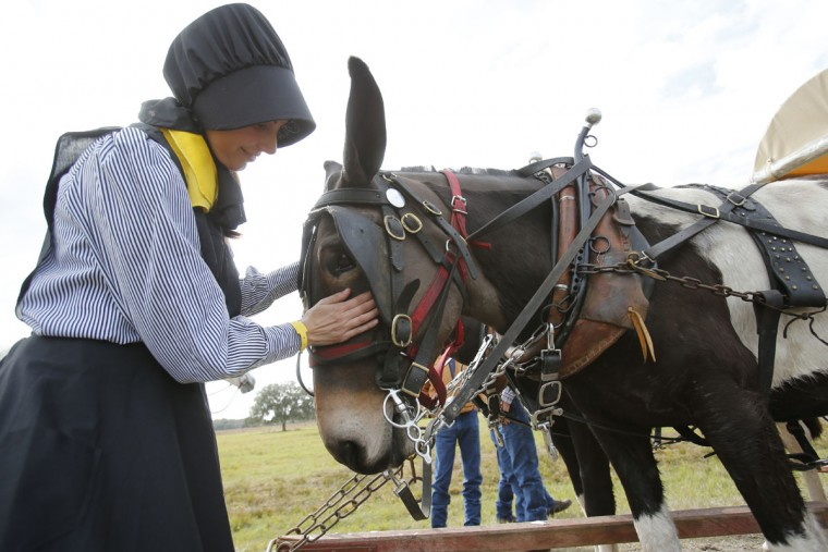 In this, Tuesday, Jan. 26, 2016 photo, Laura Jessup of Spencer, Tenn., pets one of her mules as she waits for her wagon to be fixed during the Great Florida Cattle Drive 2016, in Kenansville, Fla. Despite their efforts to re-create the life of Florida cowboys from the 19th century by wearing bonnets, suspenders and cowboy hats, and sleeping in sod fields at night, the more than 400 participants who took part in the once-in-a-decade cattle drive through the heart of Florida this week couldnít help but allow for little bits of the 21st century to seep in. Some cowboys had selfie-sticks, and others posted regularly on Facebook while helping to herd more than 400 head of cattle through central Florida. (AP Photo/Wilfredo Lee)