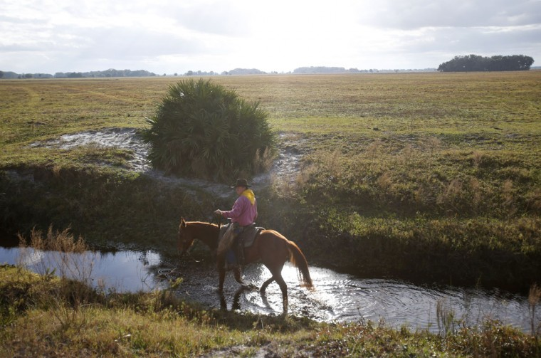 In this, Tuesday, Jan. 26, 2016 photo, a rider walks his horse through a stream during the second day of the Great Florida Cattle Drive 2016, in Kenansville, Fla. (AP Photo/Wilfredo Lee)