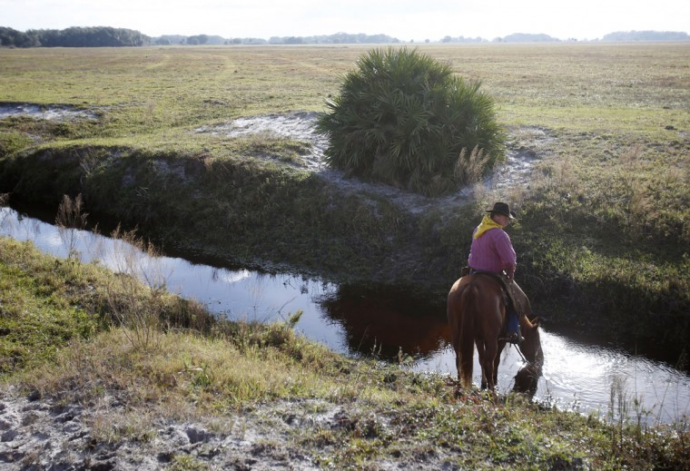 In this Tuesday, Jan. 26, 2016 photo, a rider lets his horse drink from a stream as he waits for the start of the second day of the Great Florida Cattle Drive 2016, in Kenansville, Fla. The purpose of the once-a-decade Great Florida Cattle Drive is to draw attention to Floridaís deep cowboy history at a time when the state is known more for Disney World fantasies, South Beach flashiness, Panama City Beach spring break rowdiness and Cape Canaveral rocket launches. (AP Photo/Wilfredo Lee)