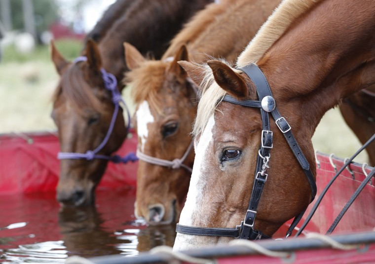 In this Tuesday, Jan. 26, 2016 photo, horses drink water from a trough as their riders eat lunch during the Great Florida Cattle Drive 2016, in Kenansville, Fla. The purpose of the once-a-decade Great Florida Cattle Drive is to draw attention to Floridaís deep cowboy history at a time when the state is known more for Disney World fantasies, South Beach flashiness, Panama City Beach spring break rowdiness and Cape Canaveral rocket launches. (AP Photo/Wilfredo Lee)