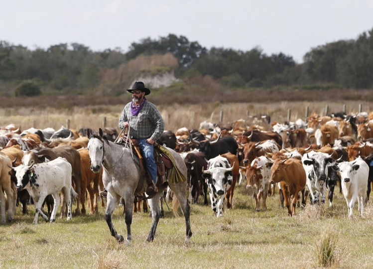 In this Tuesday, Jan. 26, 2016 photo, a rider herds cattle during the Great Florida Cattle Drive 2016, in Kenansville, Fla. Most of Florida's cattle are used for breeding and nursing, and they're typically shipped out West once they get near adulthood. (AP Photo/Wilfredo Lee)