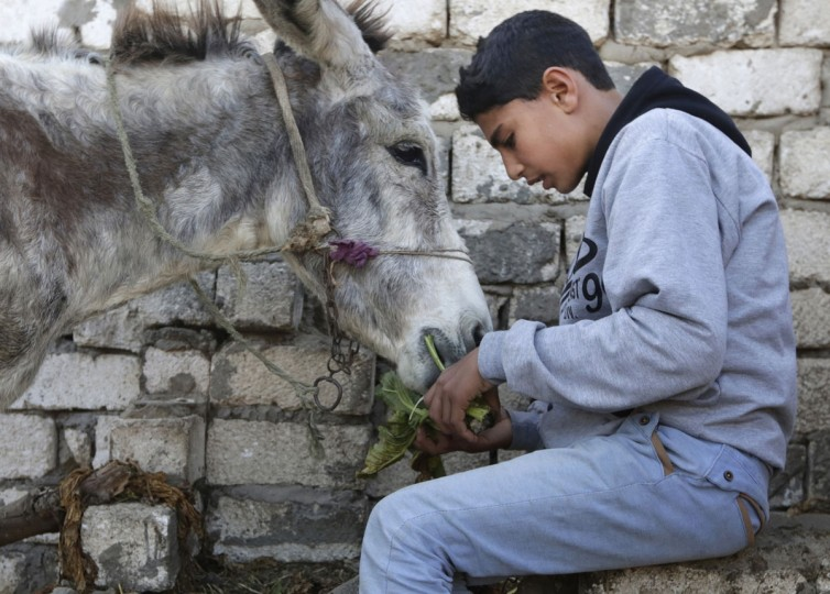 In this Friday, Feb. 5, 2016 picture, Egyptian farmer Ahmed Ayman, 14, feeds his donkey before they start their daily jump training in the Nile Delta village of Al-Arid about 150 kilometers north of Cairo, Egypt. Donkeys are a fixture of daily life in rural Egypt, where they are used for transportation or to haul goods, and can often be seen in Cairo and other major cities. But itís rare to see a donkey gallop, much less go airborne. (AP Photo/Amr Nabil)
