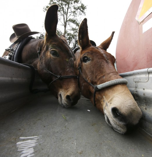 Jack, right, and Jill drink water after arriving with the Sam Houston Trail Riders to overnight at Spring Creek Park in Tomball, Texas, Tuesday, Feb. 23, 2016. The mules pull one of the wagons in trail ride which is headed to Houston for the Houston Livestock Show and Rodeo parade on Saturday. (AP Photo/David J. Phillip)