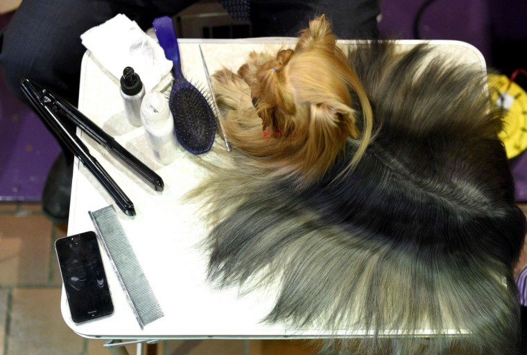 A Yorkshire Terrier is groomed in the benching area February 15, 2016 in New York during the first day of competition at the Westminster Kennel Club 140th Annual Dog Show. (TIMOTHY A. CLARY/AFP/Getty Images)
