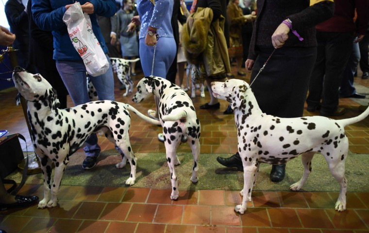 A group of Dalmations wait in the judging area February 15, 2016 in New York during the first day of competition at the Westminster Kennel Club 140th Annual Dog Show. (TIMOTHY A. CLARY/AFP/Getty Images)