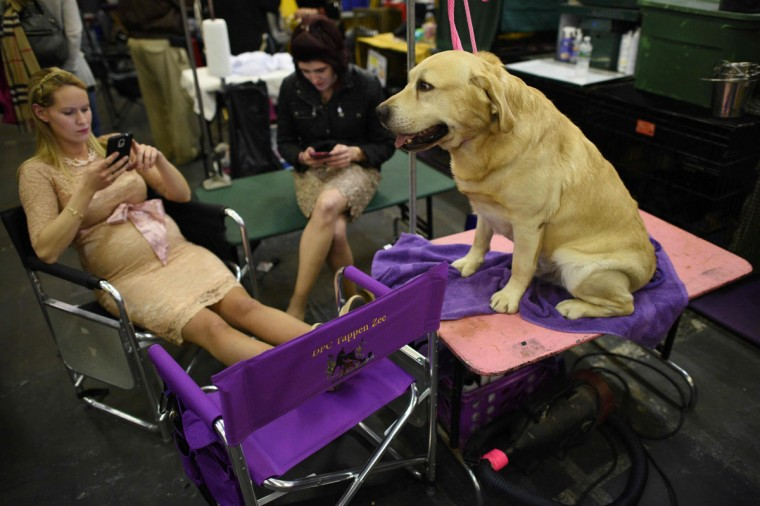 A Labrador Retriever waits in the benching area February 15, 2016 in New York during the first day of competition at the Westminster Kennel Club 140th Annual Dog Show. (AFP/Getty Images)