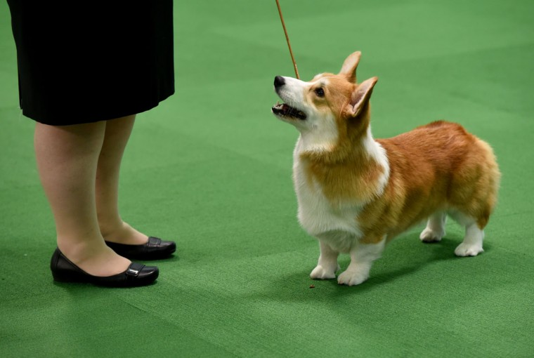 A Pembroke Welsh Corgi is seen in the judging area February 15, 2016 in New York during the first day of competition at the Westminster Kennel Club 140th Annual Dog Show. (TIMOTHY A. CLARY/AFP/Getty Images)