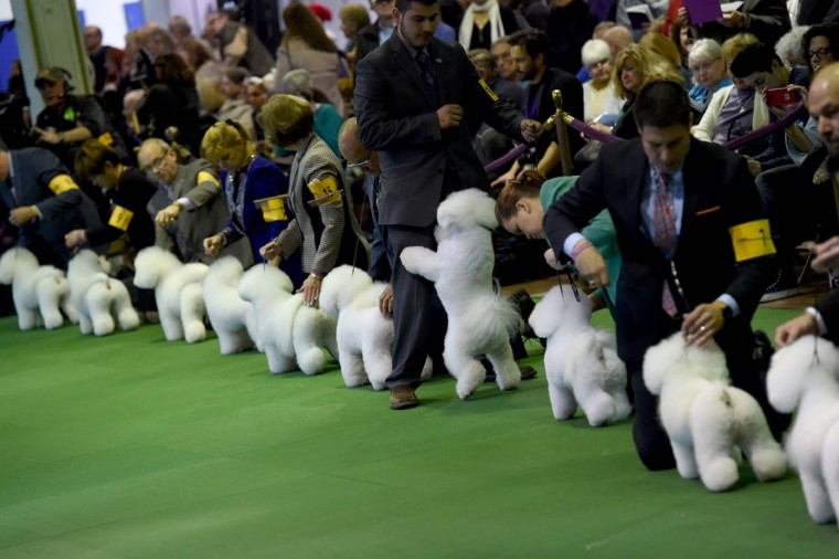 A group of Bichons gather in the judging area February 15, 2016 in New York during the first day of competition at the Westminster Kennel Club 140th Annual Dog Show. (TIMOTHY A. CLARY/AFP/Getty Images)