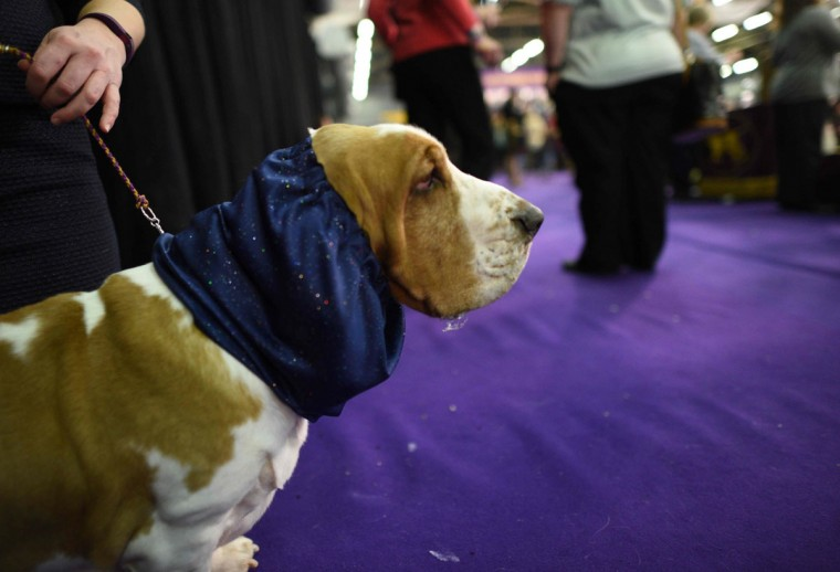 A Bassett Hound waits in the judging area February 15, 2016 in New York during the first day of competition at the Westminster Kennel Club 140th Annual Dog Show. (AFP/Getty Images)