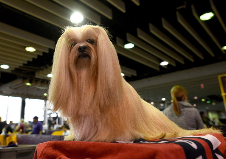 A Lhasa Apso is groomed in the benching area February 15, 2016 in New York during the first day of competition at the Westminster Kennel Club 140th Annual Dog Show. (TIMOTH A. CLARY/AFP/Getty Images)