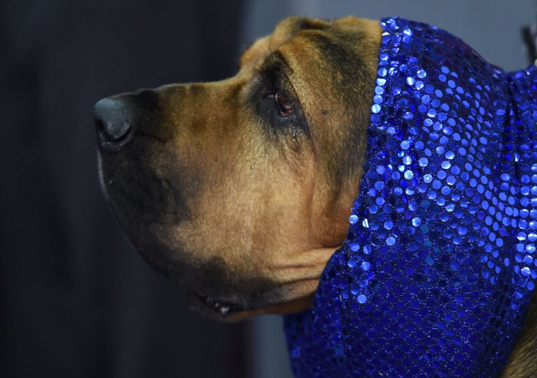 A dog waits in the competition area February 15, 2016 in New York during the first day of competition at the Westminster Kennel Club 140th Annual Dog Show. (TIMOTHY A. CLARY/AFP/Getty Images)