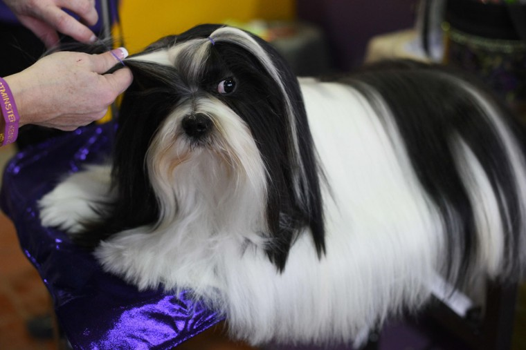 A dog is groomed in the benching area February 15, 2016 in New York during the first day of competition at the Westminster Kennel Club 140th Annual Dog Show. (TIMOTHY A. CLARY/AFP/Getty Images)