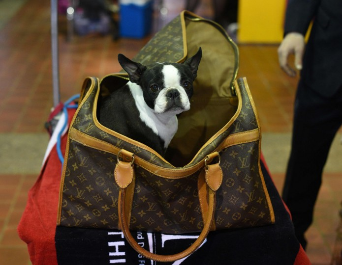 A French Bulldog is seen in the benching area February 15, 2016 in New York during the first day of competition at the Westminster Kennel Club 140th Annual Dog Show. (TIMOTHY A. CLARY/AFP/Getty Images)