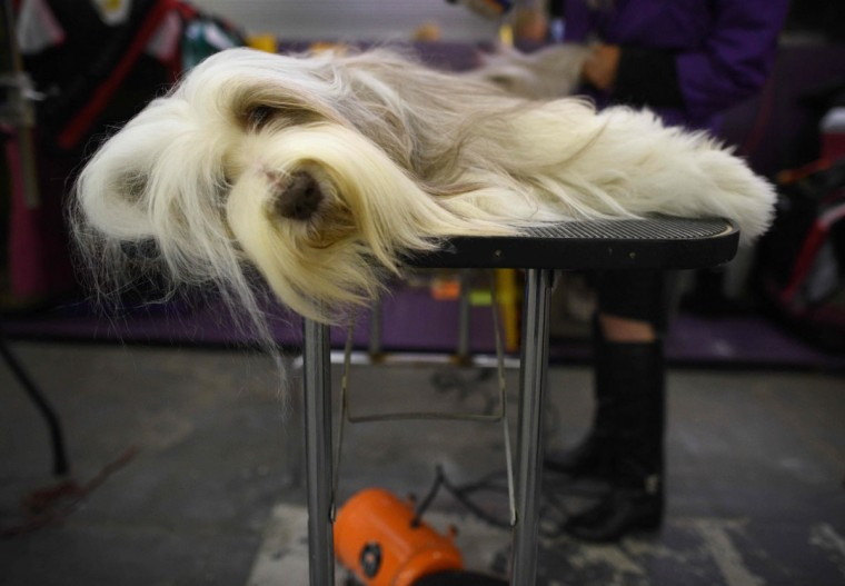 An Old English Sheepdog waits in the grooming area February 15, 2016 in New York during the first day of competition at the Westminster Kennel Club 140th Annual Dog Show. (TIMOTHY A. CLARY/AFP/Getty Images)