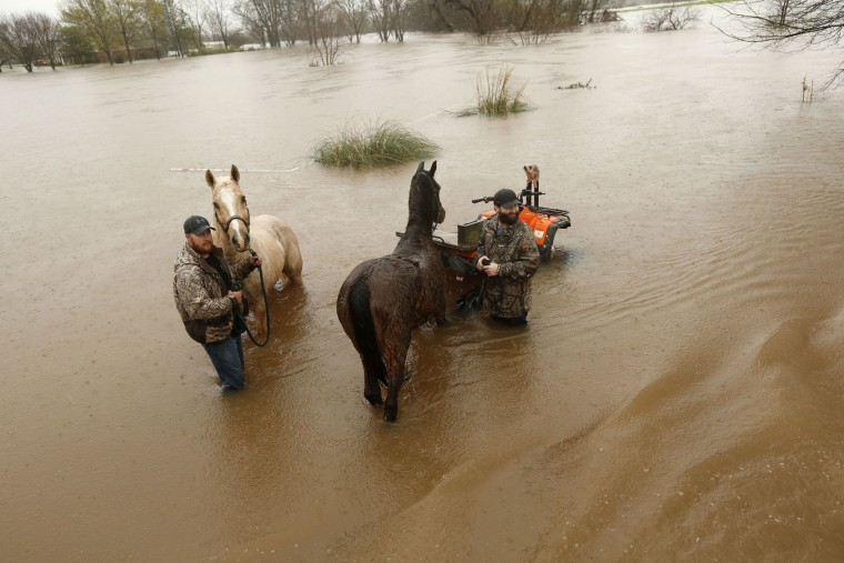 Two men secure two horses in rising floodwaters in Bossier Parish, La., Thursday, March 10, 2016. A second round of rain early Thursday hit an already inundated north Louisiana, where flooding in some places was up to the rooftops and in others submerged cars, stranded families and forced evacuations. (AP Photo/Gerald Herbert)
