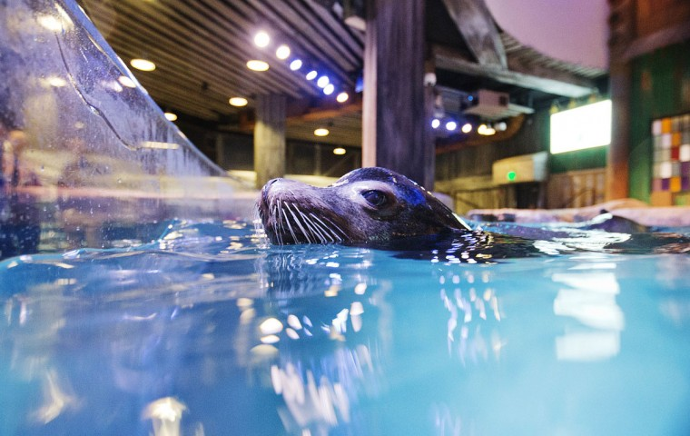 In this Monday, March 28, 2016 photo, Nav, an 11-year-old rescued California sea lion, swims in the water during a training session for a new exhibit at the Georgia Aquarium. The aquarium is in the midst of celebrating its tenth anniversary, and as part of the festivities, patrons will be introduced to the newest faces in Atlanta, a group of rescued California sea lions. (AP Photo/David Goldman)