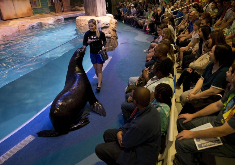 Trainer Caterina Bloomquist gives the crowd a close-up look at Nav, a 500-pound California sea lion, at the Georgia Aquarium Thursday, March 31, 2016, in Atlanta. As part of the aquarium's 10th anniversary celebration, it's introducing 14 rescued California sea lions. The sea lions come from California's Marine Mammal Center, which put out a call for aid during a mass stranding of sea lions on beaches. (AP Photo/John Bazemore)