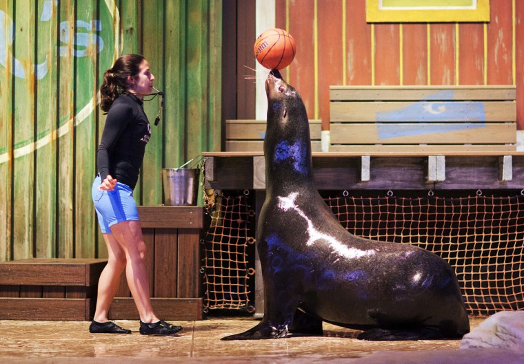 In this Monday, March 28, 2016 photo, senior trainer Cristina Mendonca looks on as Diego, a rescued California sea lion, balances a basketball during a rehearsal for a new exhibit opening at the Georgia Aquarium. (AP Photo/David Goldman)