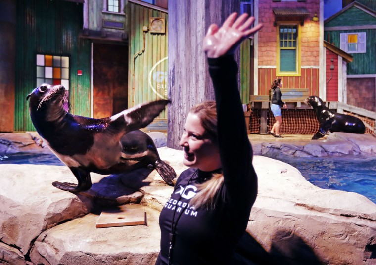 In this Monday, March 28, 2016 photo, Scout, a rescued California sea lion, and trainer Catrina Bloomquist wave to the crowd during a dress rehearsal for a new exhibit opening at the Georgia Aquarium. (AP Photo/David Goldman)