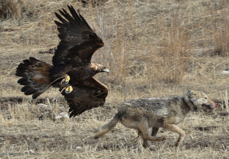"A golden eagle attacks a wolf during the hunting festival ""Salburun"" in the village of Alysh, near Naryn, 350 km outside Bishkek, on March 13, 2016. (VYACHESLAV OSELEDKO/AFP/Getty Images)"
