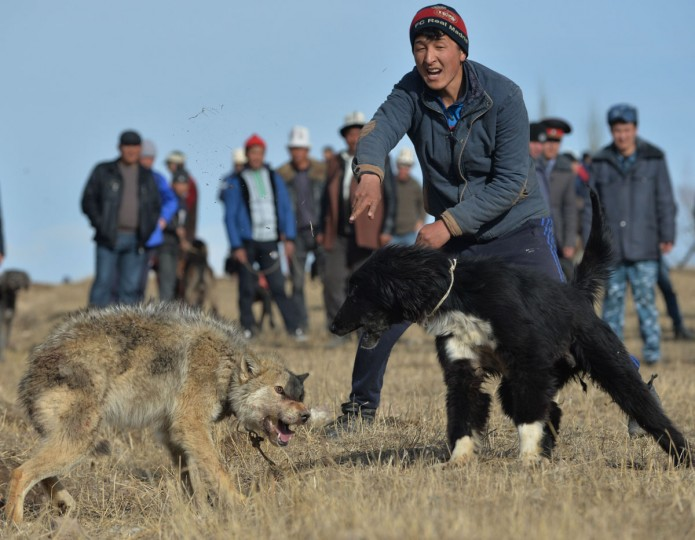 "A hunting dog attacks a wolf during the hunting festival ""Salburun"" in the village of Alysh, near Naryn, 350 km outside Bishkek, on March 13, 2016. (VYACHESLAV OSELEDKO/AFP/Getty Images)"