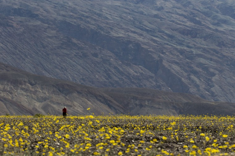 """In this Wednesday, Feb. 24, 2016 photo, a tourist walks through a field carpeted with wildflowers near Badwater Basin in Death Valley, Calif. A rare """"super bloom"""" of wildflowers in Death Valley National Park has covered the hottest and driest place in North America with a carpet of gold, attracting tourists from all over the world and enchanting visitors with a stunning display from nature's paint brush. (AP Photo/Jae C. Hong)"""