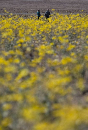 """In this Wednesday, Feb. 24, 2016 photo, Michael Gilbert, top center, and wife, Jan, walk through a field of wildflowers near Badwater Basin in Death Valley, Calif. A rare """"super bloom"""" of wildflowers in Death Valley National Park has covered the hottest and driest place in North America with a carpet of gold, attracting tourists from all over the world and enchanting visitors with a stunning display from nature's paint brush. The display happens about once every 10 years and the last time tourists saw so many spring wildflowers was in 2005. (AP Photo/Jae C. Hong)"""