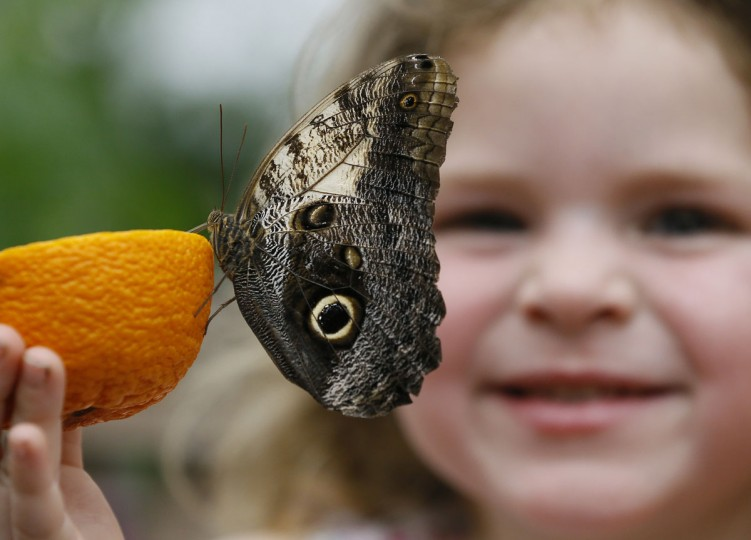 Summer Sharif looks at an Owl butterfly feeding on an orange during a photo call for hundreds of tropical butterflies being released, to launch the Natural History Museum's Sensational Butterflies exhibition in London, Wednesday, March 23, 2016. The exhibition opens to the public on March 24 and runs until Sept. 11. (AP Photo/Kirsty Wigglesworth)