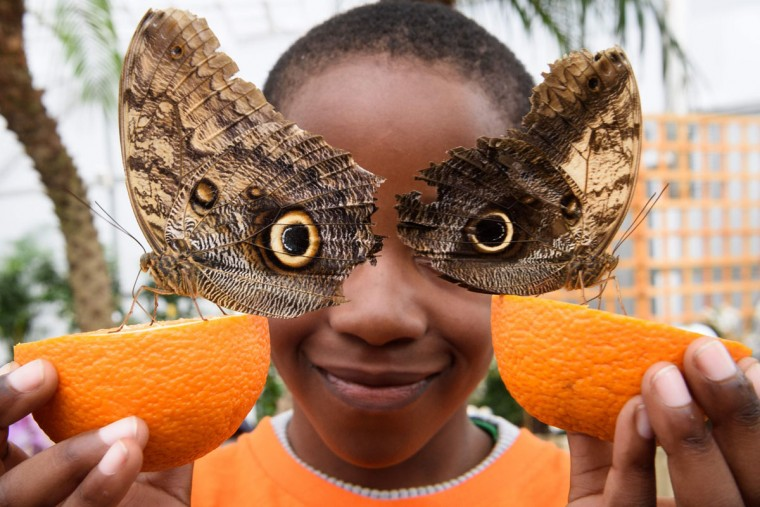 Bjorn, 6, poses for pictures with Owl butterflies during a photocall at the Natural History Museum in central London on March 23, 2016. (LEON NEAL/AFP/Getty Images)