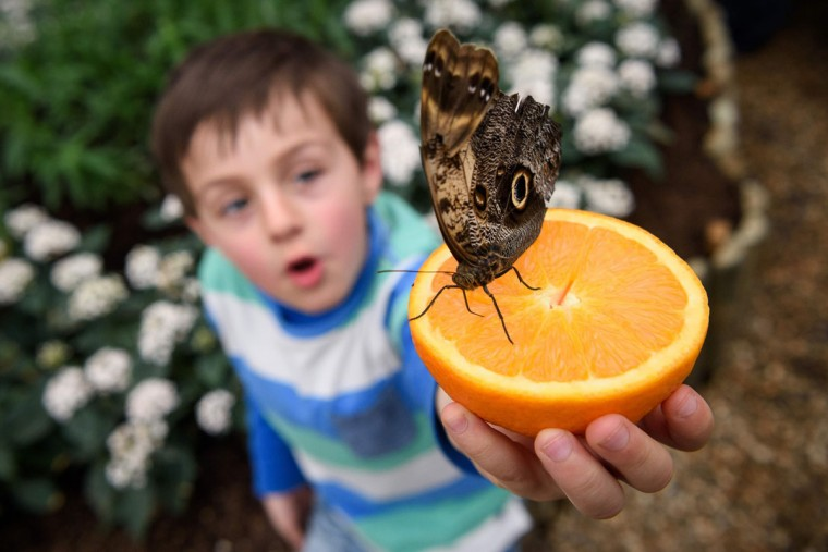 Freddy, 6, poses for pictures with a Pale Owl butterfly during a photocall at the Natural History Museum in central London, on March 23, 2016. (LEON NEAL/AFP/Getty Images)