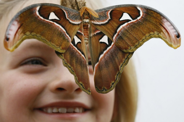 Ava Kennedy looks at an Atlas Moth during a photo call for hundreds of tropical butterflies being released, to launch the Natural History Museum's Sensational Butterflies exhibition in London, Wednesday, March 23, 2016. The exhibition opens to the public on March 24 and runs until Sept. 11. (AP Photo/Kirsty Wigglesworth)