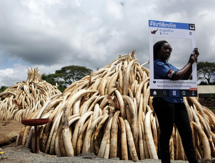 A wildlife conservationist poses with a cut-out placard bearing the message 'WorthMoreAlive' advocating for an end to elephant poaching, on April 28, 2016, next to some of the illegal stockpiles of elephant tusks stacked up onto pyres at Nairobi's national park, waiting to be burned along with more than a tonne of rhino-horn at what is said to be the biggest stockpile destruction in history. Kenya on April 30, 2016 will burn approximately 105 tonnes of confiscated ivory, almost all of the country's total stockpile at an event to be attended by several African heads of state, conservation experts, high-profile philanthropists and celebrities at the event which they hope will send a strong anti-poaching message. (TONY KARUMBA/AFP/Getty Images)