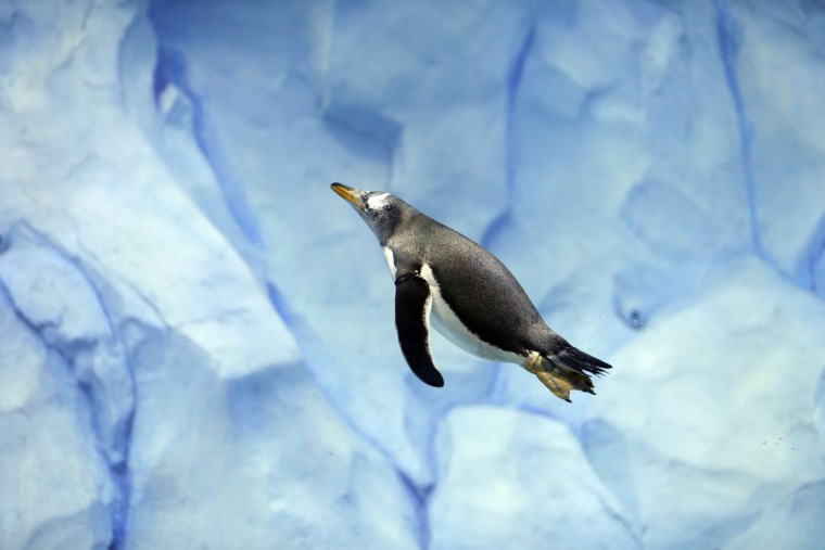 A penguin swims in the Detroit Zoo's new Polk Penguin Conservation Center, Wednesday, April 13, 2016, in Royal Oak, Mich. The new penguin habitat that the zoo calls the worldís largest such facility offers its 80-plus residents new rocks for climbing, waves, snow and better ice conditions, while allowing visitors to come nose-to-beak with the stately birds. A preview Wednesday showed off the $30 million center, which features an underwater gallery and two tunnels where visitors can watch four species of penguins swim above, around and below them. (AP Photo/Carlos Osorio)