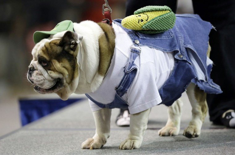 Otis Campbell, owned by Lisa Smith, of Ottumwa, Iowa, stands on stage during the 37th annual Drake Relays Beautiful Bulldog Contest, Sunday, April 24, 2016, in Des Moines, Iowa. The pageant kicks off the Drake Relays festivities at Drake University where a bulldog is the mascot. (AP Photo/Charlie Neibergall)