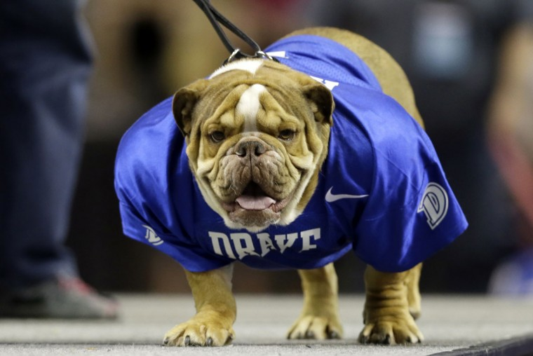 Romeo, owned by Michon Huston, of Kansas City, Mo., stands on stage during the 37th annual Drake Relays Beautiful Bulldog Contest, Sunday, April 24, 2016, in Des Moines, Iowa. The pageant kicks off the Drake Relays festivities at Drake University where a bulldog is the mascot. (AP Photo/Charlie Neibergall)