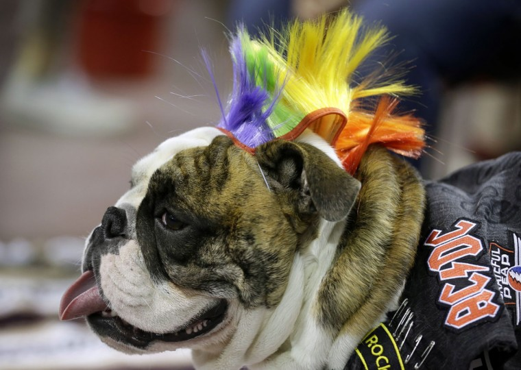 Theodore, owned by Cassie Freshour, of Villisca, Iowa, waits to be judged during the 37th annual Drake Relays Beautiful Bulldog Contest, Sunday, April 24, 2016, in Des Moines, Iowa. The pageant kicks off the Drake Relays festivities at Drake University where a bulldog is the mascot. (AP Photo/Charlie Neibergall)