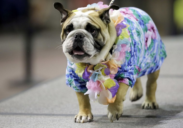 Hank Glover, owned by Kellen Glover, of Knoxville, Iowa, walks on the stage during the 37th annual Drake Relays Beautiful Bulldog Contest, Sunday, April 24, 2016, in Des Moines, Iowa. The pageant kicks off the Drake Relays festivities at Drake University where a bulldog is the mascot. (AP Photo/Charlie Neibergall)