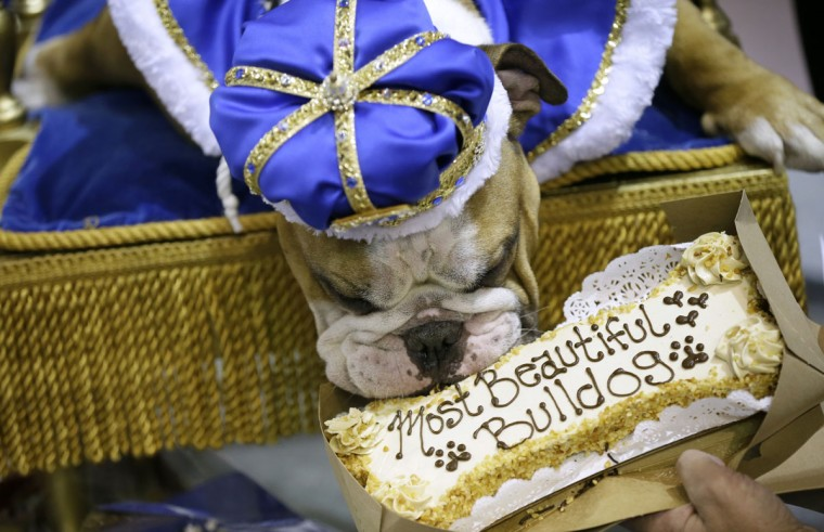 Vincent, owned by Meredith and Chad Green, of Des Moines, Iowa, eats a treat after being crowned the winner of the 37th annual Drake Relays Beautiful Bulldog Contest, Sunday, April 24, 2016, in Des Moines, Iowa. The pageant kicks off the Drake Relays festivities at Drake University where a bulldog is the mascot. (AP Photo/Charlie Neibergall)
