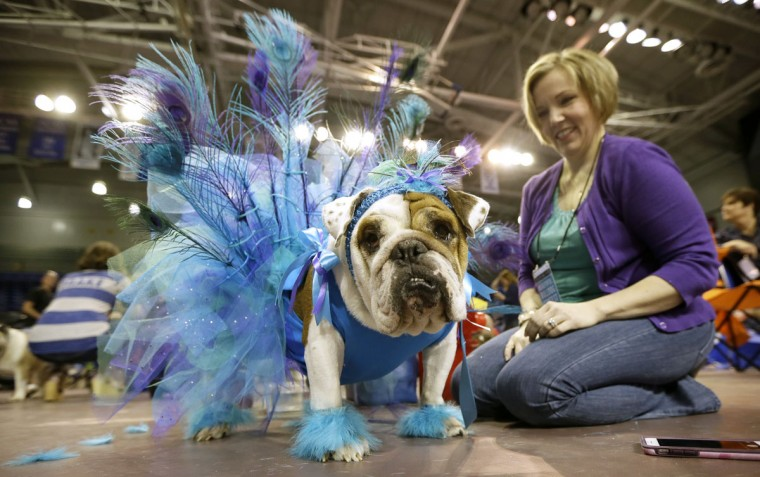 Shireen Carter, of Norwalk, Iowa, sits with her bulldog Lola during judging at the 37th annual Drake Relays Beautiful Bulldog Contest, Sunday, April 24, 2016, in Des Moines, Iowa. The pageant kicks off the Drake Relays festivities at Drake University where a bulldog is the mascot. (AP Photo/Charlie Neibergall)